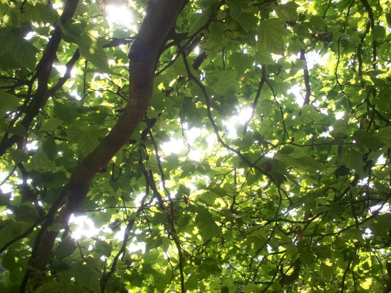 Leaf foliage - London Plane