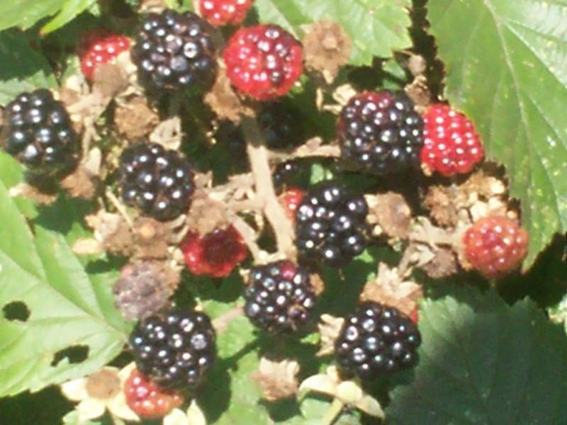 Blackberries?