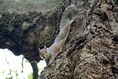 A squirrel in St James' Park