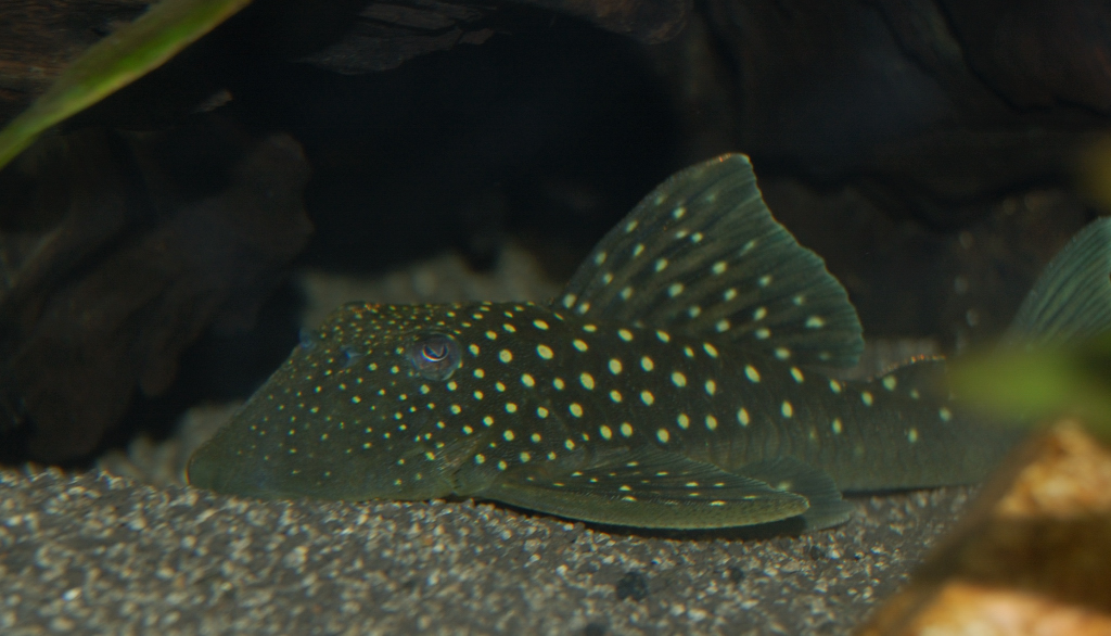 Blue phantom pleco