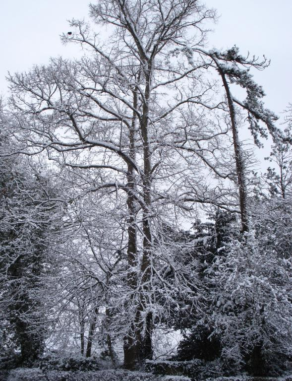 Snowy trees in Trowbridge (1).JPG