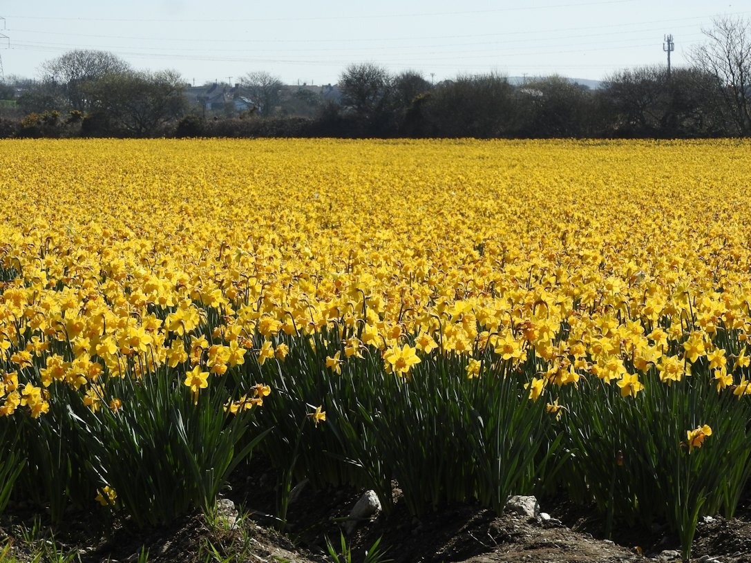Sea of Dafs