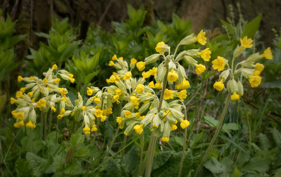 Cowslip colony