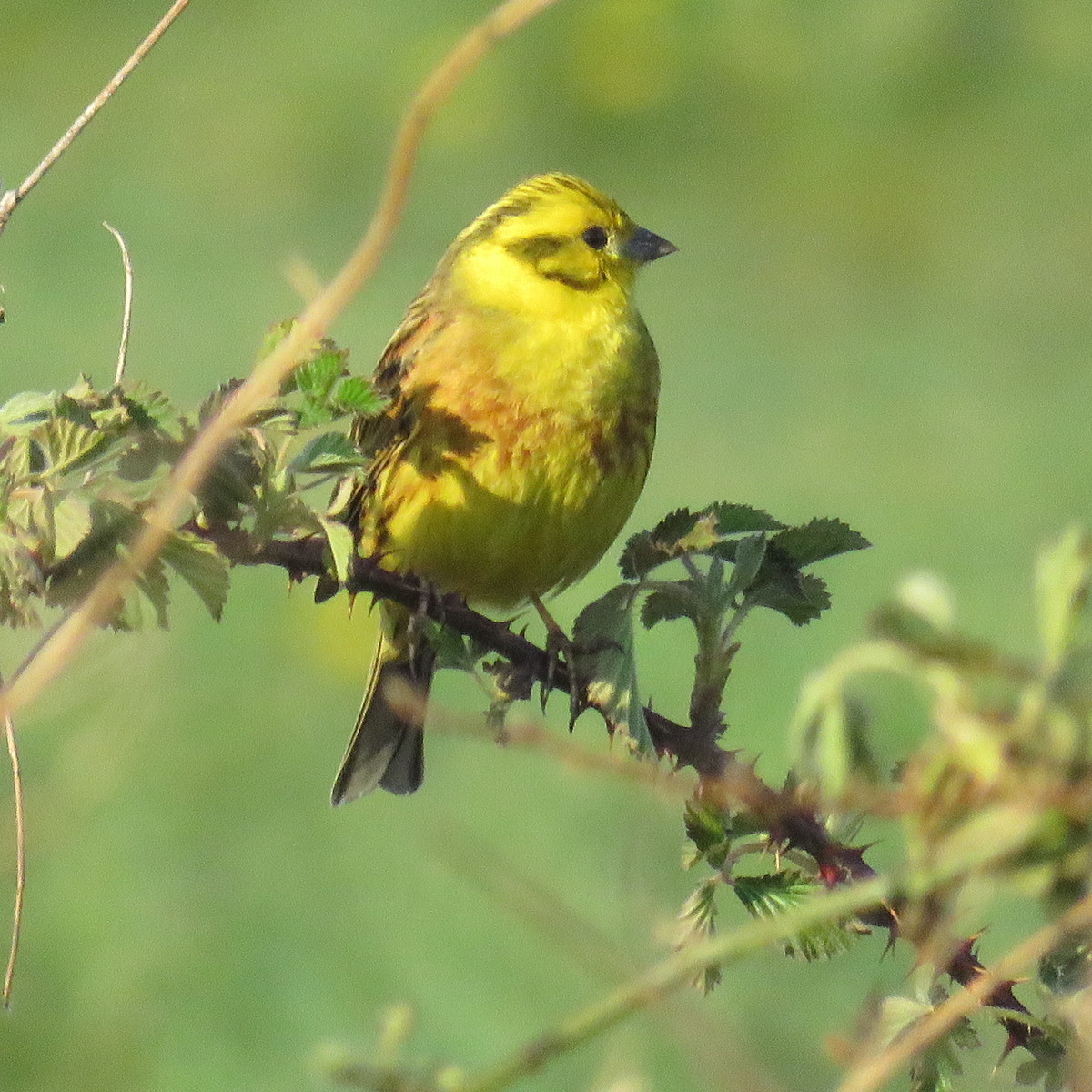 Yellowhammer on Chat Moss, Irlam