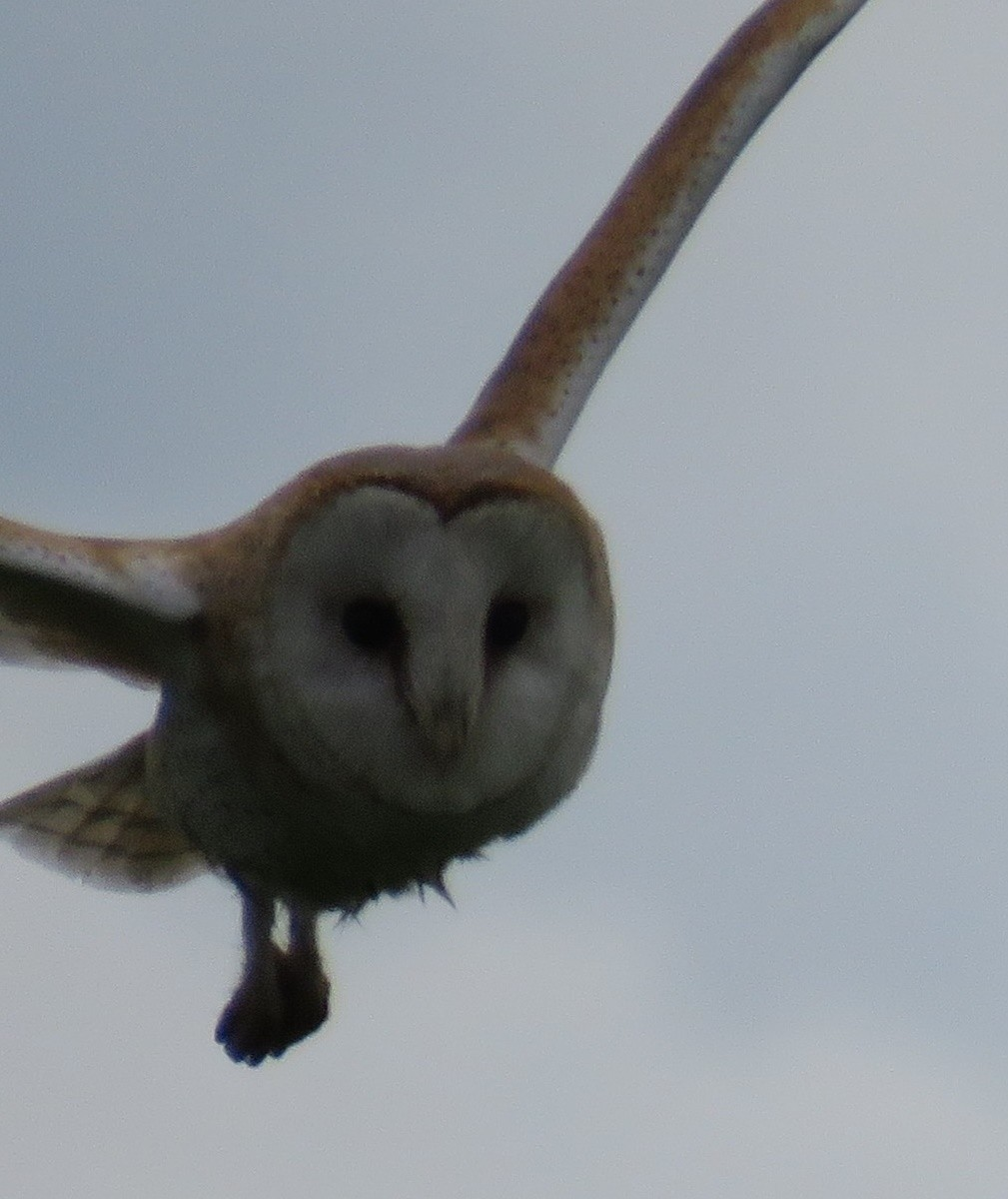 Barn owl on the hunt