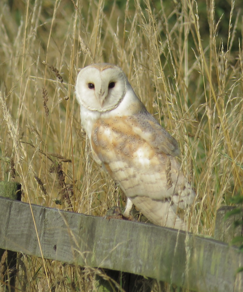 Barn owl on Chat Moss, Irlam