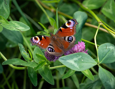 Peacock butterfly on red clover