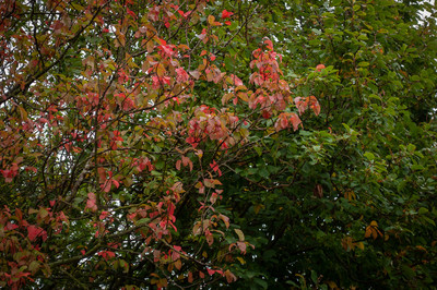 Early colour from Bird Cherry