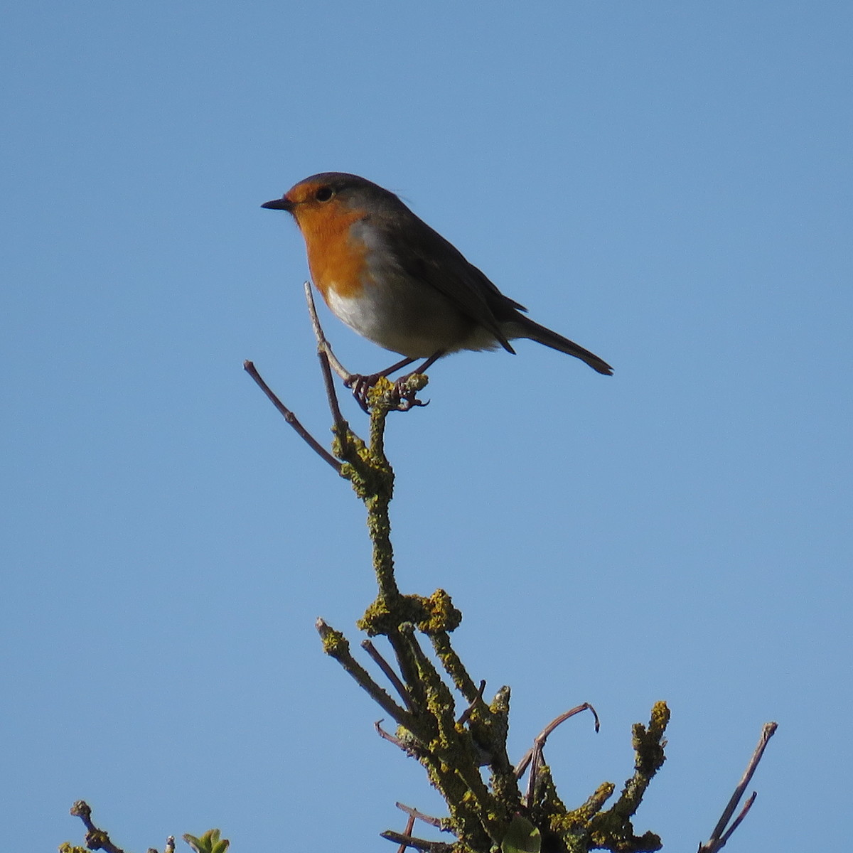 Robin, top of the tree