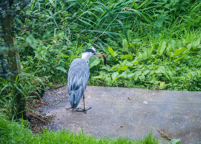 Heron with Vole