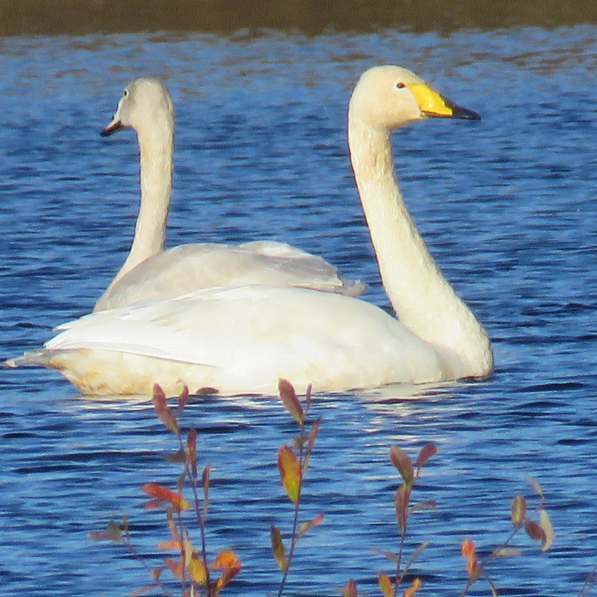 Whooper swans on Chat Moss, Irlam, UK