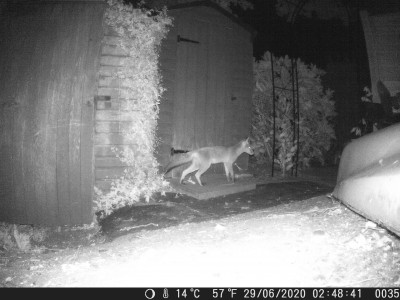 Fox at the bottom of the garden.