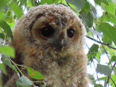 Young tawny owl, Chat Moss, Irlam