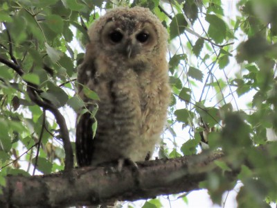 A young tawny owl on Chat Moss, Irlam