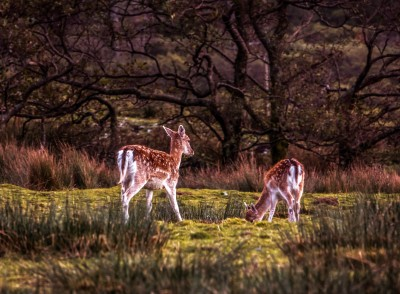 Magical Mull - two young Fallow Deer from last week.