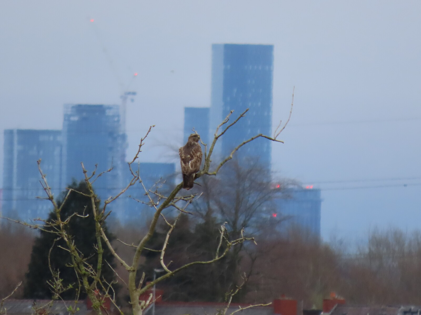 Buzzard in tree with Manchester skyline in background